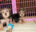 Morkie puppies for sale near Atlanta Ga (13)
