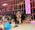 Morkie puppies for sale near Atlanta Ga (15)