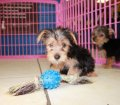 Morkie puppies for sale near Atlanta Ga (2)