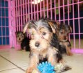 Morkie puppies for sale near Atlanta Ga (3)