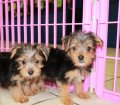 Morkie puppies for sale near Atlanta Ga (6)
