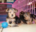 Morkie puppies for sale near Atlanta Ga (9)