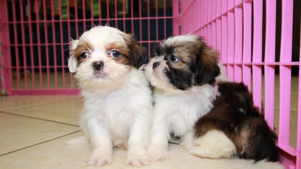 Adorable Little Shih Tzu Puppies For Sale, Georgia Local