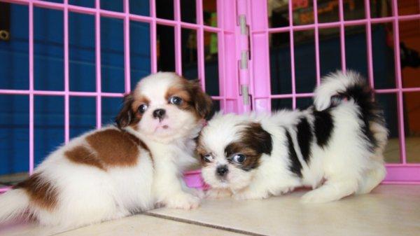 Adorable Little Shih Tzu Puppies For Sale, Georgia Local