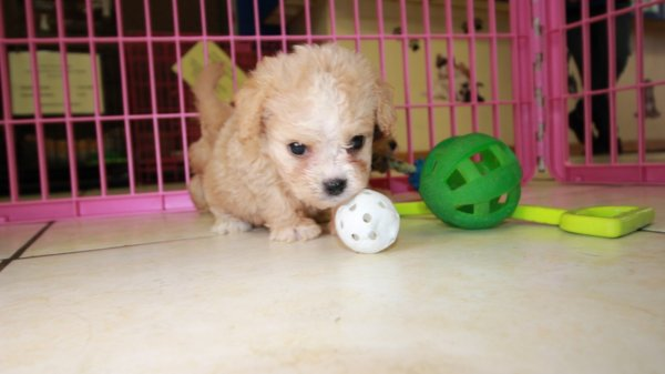 Happy Little Cavapoo Puppies For Sale, Georgia Local Breeders, Near