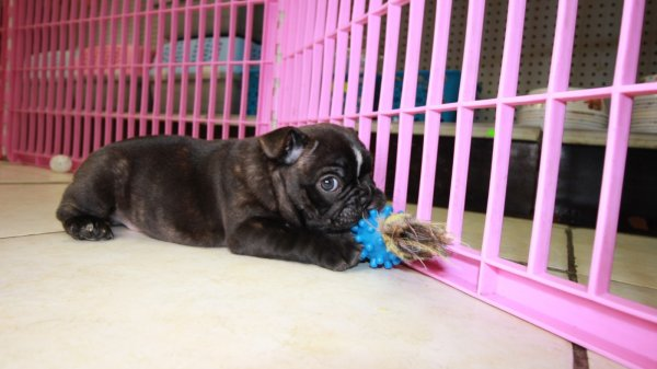 Happy Little Frenchton Puppies For Sale in Atlanta Georgia Ga at