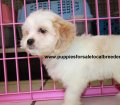 Cavachon puppies for sale in Georgia (10)