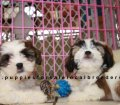 Cavachon puppies for sale in Georgia (22)