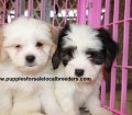 Cavachon puppies for sale in Georgia (25)