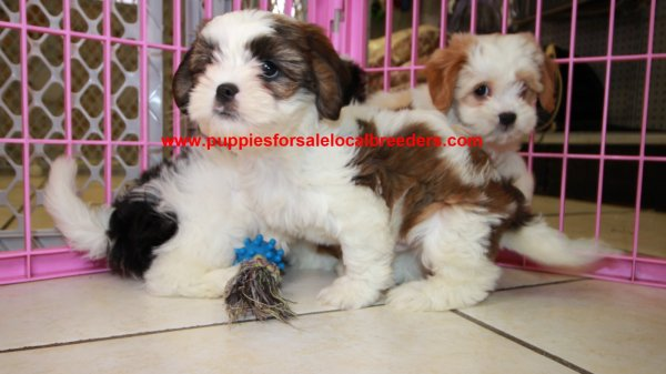 Adorably Fluffy Cavachon Puppies For Sale, Georgia Local Breeders, Near Atlanta, Ga