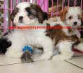 Cavachon puppies for sale in Georgia (2)