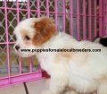 Cavachon puppies for sale in Georgia (6)