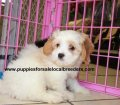 Cavachon puppies for sale in Georgia (7)