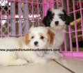 Cavachon puppies for sale in Georgia (8)