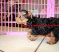 Yorkie Poo puppies for sale in Georgia (12)
