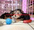 Yorkie Poo puppies for sale in Georgia (15)