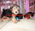 Yorkie Poo puppies for sale in Georgia (18)