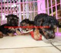 Yorkie Poo puppies for sale in Georgia (20)