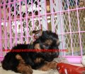Yorkie Poo puppies for sale in Georgia (8)