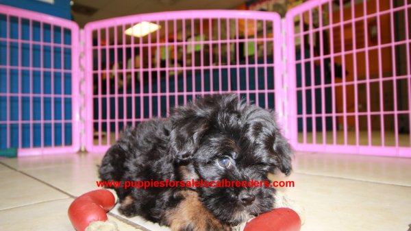 Happy Little Bichon Poo Puppies for Sale In Georgia