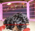 BichonPoo puppies for sale in Georgia (3)