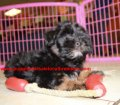 BichonPoo puppies for sale in Georgia (4)