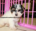 Morkie puppies for sale in Georgia (22)