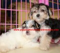 Morkie puppies for sale in Georgia (2)