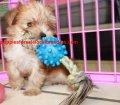 Morkie puppies for sale in Georgia (4)