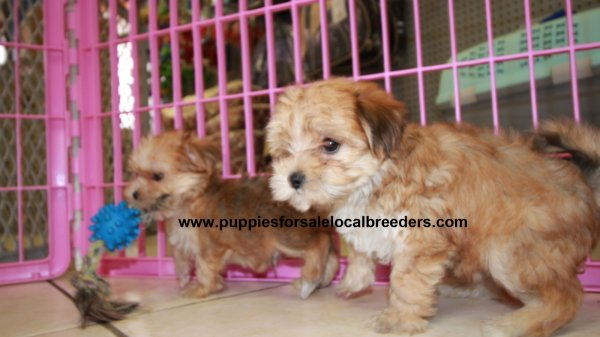 Adorably Fluffy Morkie Puppies For Sale, Georgia Local Breeders, Near Atlanta, Ga