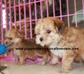Morkie puppies for sale in Georgia (6)