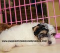 Morkie puppies for sale in Georgia (8)