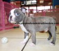 Boston Terrier puppies for sale in Georgia (10)