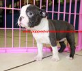Boston Terrier puppies for sale in Georgia (16)