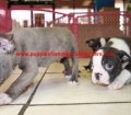 Boston Terrier puppies for sale in Georgia (1)