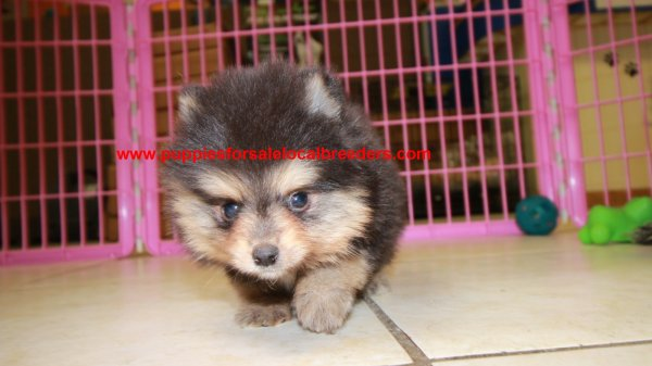 Beautiful Black and Tan Pomeranian Puppies For Sale ...