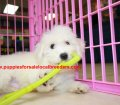 Bichon Frise puppies for sale near Atlanta, Ga (12)