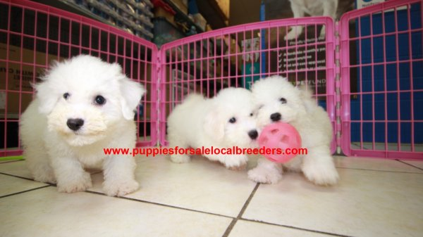 Playful & Sweet Bichon Puppies For Sale, Georgia Local Breeders, Near Atlanta, Ga