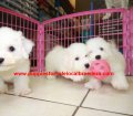 Bichon Frise puppies for sale near Atlanta, Ga (1)