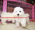 Bichon Frise puppies for sale near Atlanta, Ga (4)