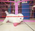 Bichon Frise puppies for sale near Atlanta, Ga (5)