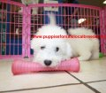 Bichon Frise puppies for sale near Atlanta, Ga (6)
