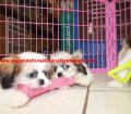 Shih Tzu puppies for sale near Atlanta, Ga (2)