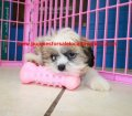 Shih Tzu puppies for sale near Atlanta, Ga (7)