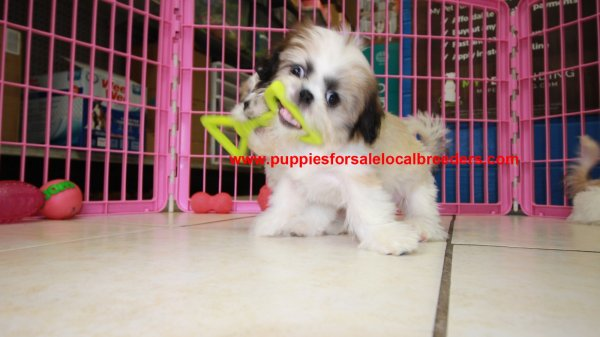 Imperial Shih Tzu Puppies For Sale, Georgia Local Breeders, Near Atlanta, Ga