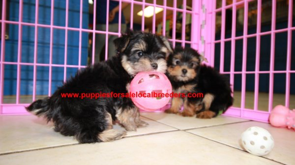 Playful & Sweet Yorkshire Terrier Puppies For Sale, Georgia Local Breeders, Near Atlanta, Ga