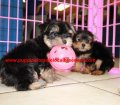 Yorkie puppies for sale near Atlanta, Ga (10)