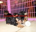 Yorkie puppies for sale near Atlanta, Ga (16)