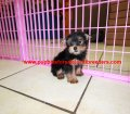 Yorkie puppies for sale near Atlanta, Ga (1)