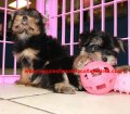 Yorkie puppies for sale near Atlanta, Ga (20)